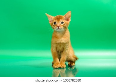 Abyssinian cat aby