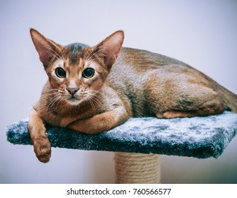 Abyssinian cat classic wild color portrait close-up, Abyssinian cat with a predatory look