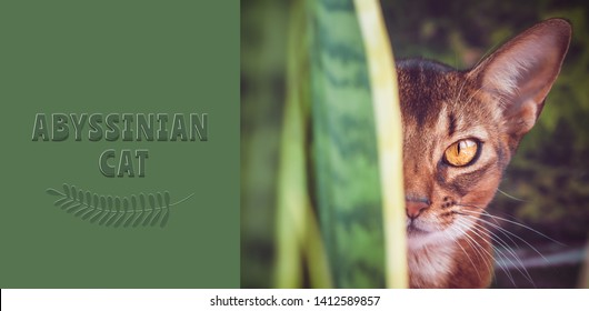 Abyssinian cat close up, in natural conditions in the greenery, like a predator, Looking at camera,  with an inscription