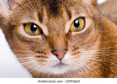 Abyssinian cat closeup. focus on eyes
