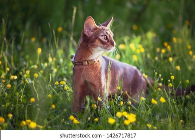 Abyssinian cat collar, close-up portrait, walks along the lawn with flowers