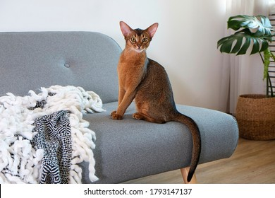Abyssinian cat at home with her owner at home. Beautiful purebred short haired kitten. Close up, copy space, background.