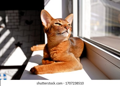 Abyssinian cat lies on the windowsill and looks at the sun