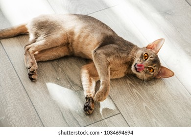 abyssinian cat lying on the floor in the sunlight.