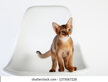 Abyssinian cat named Jam, 3 months.