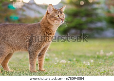 Abyssinian Cat Ontario