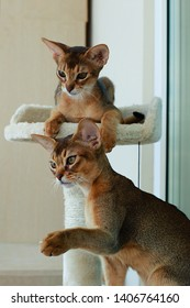 Abyssinian cat playing in the sun