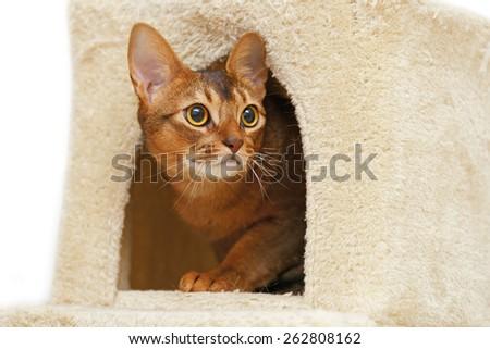 Abyssinian Cat Domestic Cats