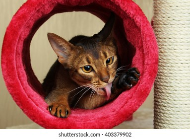 Abyssinian cat sitting in fur tube licking its paw
