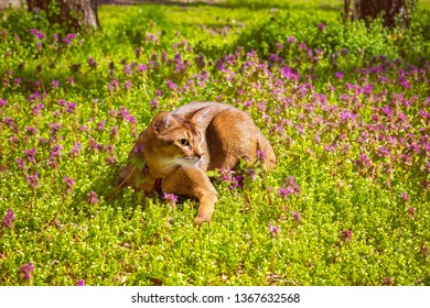 Abyssinian cat sitting in the grass with flowers in the sun