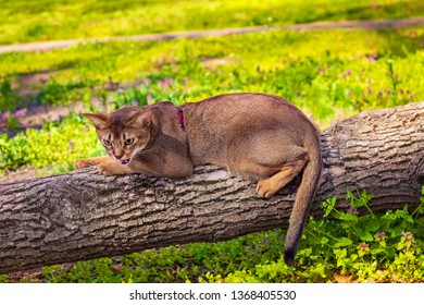 Abyssinian cat sitting on a tree log in the sun