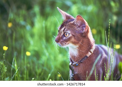 Abyssinian cat of wild color, close-up portrait, walks along the lawn with flowers, space for text