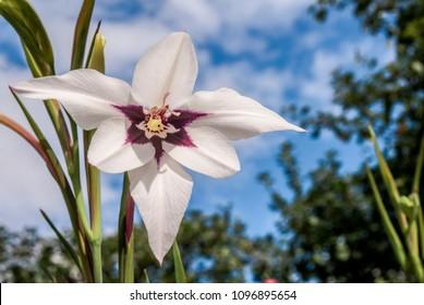 Abyssinian Gladiolus (Gladiolus murielae) in garden, Moscow region, Russia