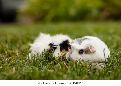 Abyssinian guinea pig and coronet guinea pig eating grass together