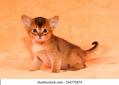 Abyssinian kitten with big ears full body portrait looking at camera