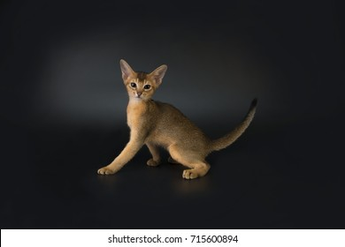Abyssinian kitten isolated on a dark background