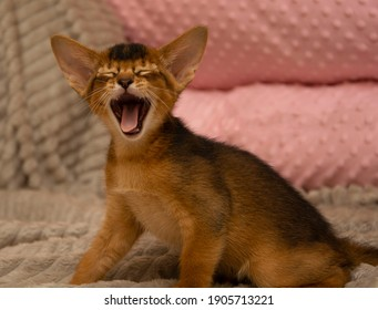 The Abyssinian kitten on the bed has just woken up and is yawning with its eyes closed.