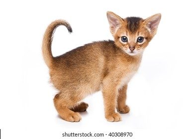 Abyssinian Kittens Images Stock Photos Vectors Shutterstock