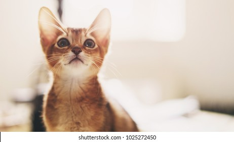 abyssinian kitten wild color indoor portrait