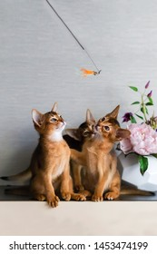 Abyssinian kittens play and have fun