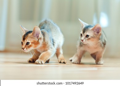 Abyssinian kittens young