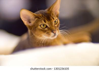 Abyssinian Cat Stock Photo (Edit Now) 587654276 - Shutterstock