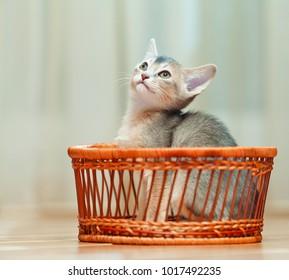 Abyssinians kitten in a basket
