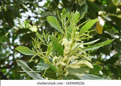 Acacia auriculiformis, commonly known as auri, earleaf acacia, earpod wattle, akashmoni