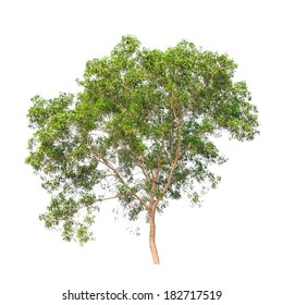 Acacia auriculiformis, commonly known as Auri, Earleaf acacia, Earpod wattle, Northern black wattle, Papuan wattle, Tan wattle, tropical tree in the northeast of Thailand isolated on white background