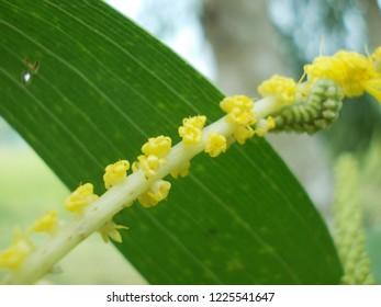 Acacia auriculiformis flower, commonly known as auri, earleaf acacia, earpod wattle, northern black wattle, Papuan wattle, and tan wattle, akashmoni in Bengali.