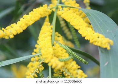 Acacia auriculiformis,Acacia facsiculifera,Acacia longifolia (Black wattle,Sallow wattle, Auri, Earleaf acacia) ; A colorful abound of Yellow small blossom together into a bouquet of flowers.