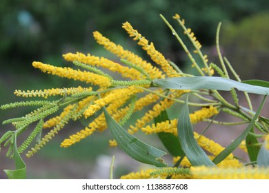 Acacia auriculiformis,Acacia facsiculifera,Acacia longifolia (Sallow wattle, Auri, Earleaf acacia).Colorful Yellow small blossom together into a bouquet of flowers.Enhance beauty with green leaf.