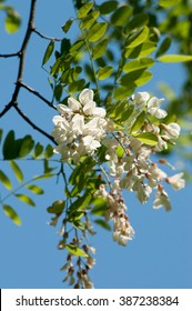 Acacia blossom against blue skyAcacia is very important for beekeeping, bees, because of its fragrant flowers make a wonderful early honey.Botanical name is Robinia pseudoacacia