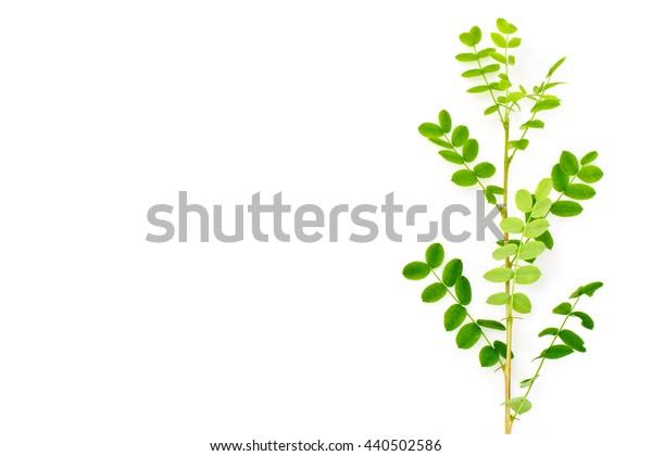 Acacia Branch on a White Background Studio Photo
