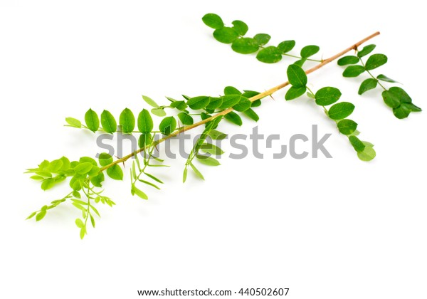 Acacia Branch on a White Background Studio Photo