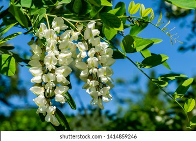 Acacia branch Robinia pseudoacacia is abundant blooming with white flowers. False acacia. Close-up. Selective focus. Concept of nature of North Caucasus for design..