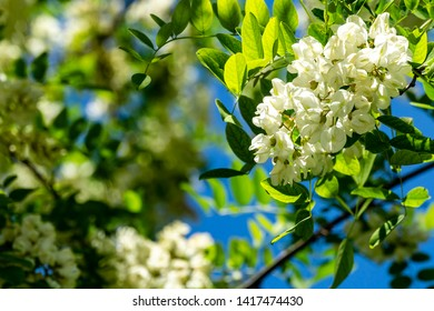 Acacia branch Robinia pseudoacacia or false acacia blooms profusely with white flowers against blue spring sky. Close-up. Selective focus. Concept of nature of North Caucasus for design