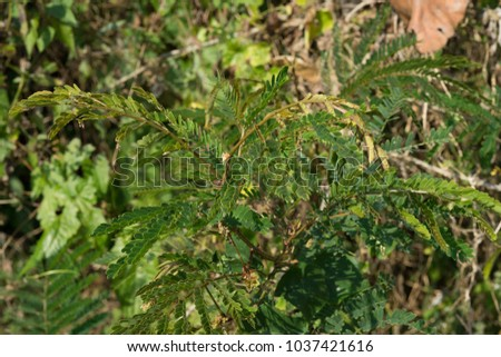 Acacia Concinna Boiled Grinded Eat Bit Stock Photo Edit Now