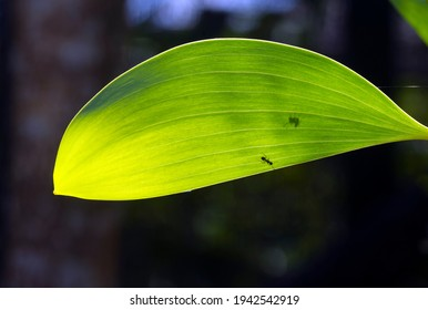 An Acacia crassicarpa young green leaf and ant