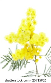 Acacia dealbata, isolated