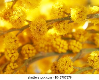 Acacia dealbata (silver wattle or mimosa) close-up, macro. Spring yellow mimosa flowers. Flower spring background, 8 March, Easter. Sun rays, backlight