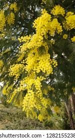 Acacia derwentii  with yellow flowers, mimosa tree, Acacia dealbata