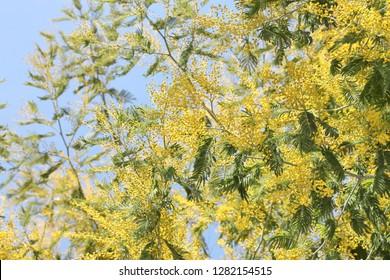 Acacia derwentii  with yellow flowers on blue background, mimosa tree, Acacia dealbata