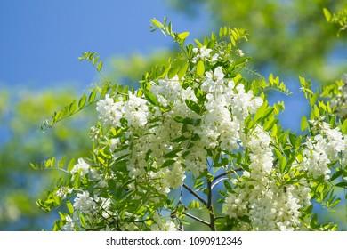 Acacia flowers blossoms against the blue sky