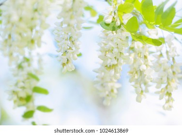 Acacia flowers in korea.