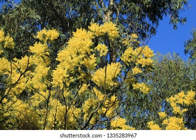 Acacia flowers in macro photograpy