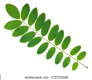 Acacia leaf on white. This file is cleaned, retouched and contains clipping path.