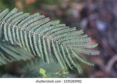 Acacia leafs in macro photograpy