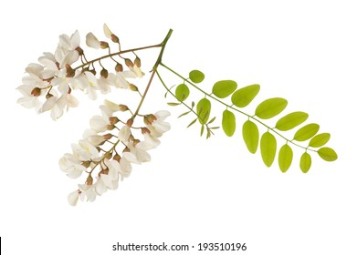 Acacia leaves and flowers isolated on white