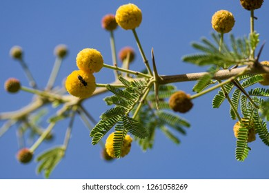 Acacia nilotica, Vachellia nilotica or gum arabic tree detail of leaves and yellow round flowers, Kenya, East Africa